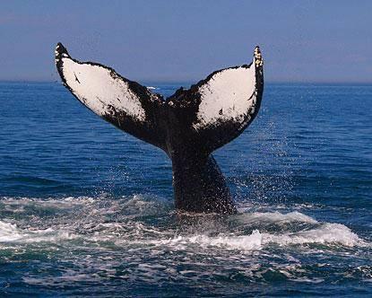 Podle posledních výzkumů je pravděpodobné, že předkem velryb byl nepříliš velký býložravec zvaný Indohyus.