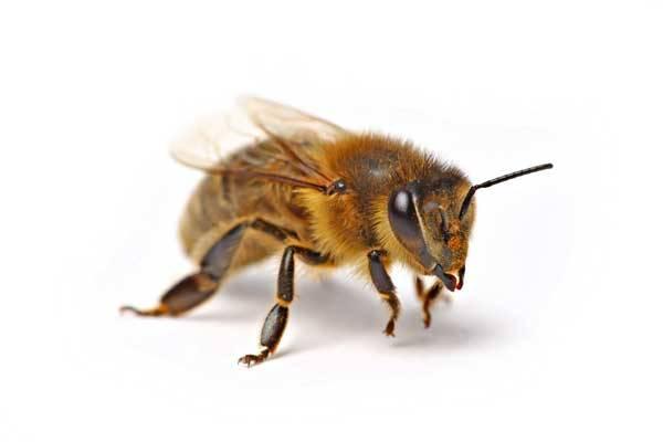 """Na celém světě zaznamenali včelaři zvýšený počet případů """"včelí dezerce"""", při které dělnice zmizí z úlu a včelstvo zaniká. Ve Spojených státech se s tímto problémem potýkají včelaři ve dvaadvaceti státech včetně Havaje."""