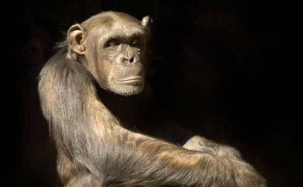Nové vědecké poznatky ukazují, že lidoopové mají k nám - lidem mnohem blíž, než se zdálo. Prokazují smysl pro humor, používají vědomě nástroje a dokážou chodit po dvou zadních končetinách. Potvrdil to kongres Evropské federace primatologů, který se v září 2007 konal v Praze.