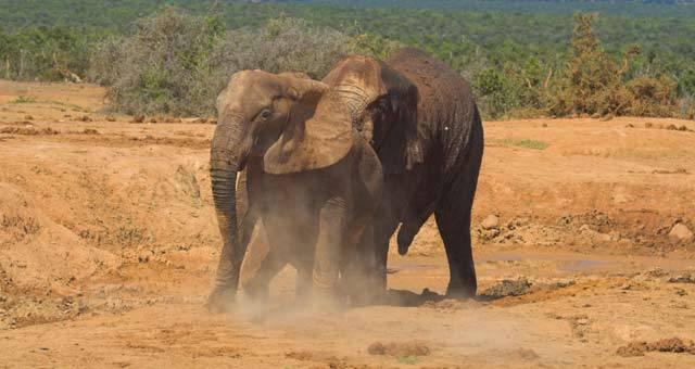 Přestože jsou sloni většinou klidná zvířata, která se k agresi uchylují pouze při pocitu vlastního ohrožení, jednou za rok se z nich stanou zaslepená vraždící monstra. Nejnovější výzkum odhaluje, co tuto podivnou sloní říji spouští.