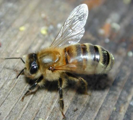 Decimování včelích společenství by mohly mít na svědomí mobily.
