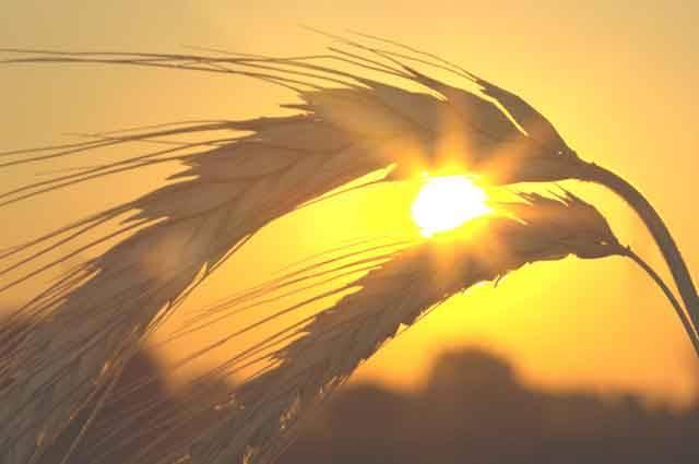 Geneticky modifikované plodiny jsou většinou ekologickým aktivistům trnem v oku. V okamžiku, kdy se na trhu objeví odrůdy, které mohou snížit emise skleníkových plynů stejnou měrou jako celosvětové zastavení provozu všech letadel, však nejspíš změní názor.