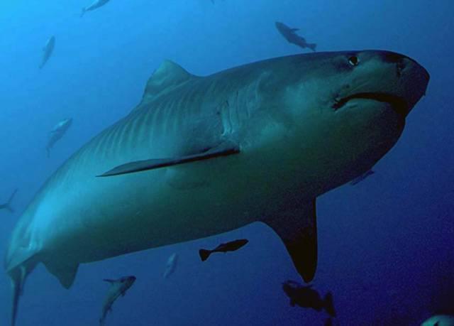 Žralok. Už jen samotný pojem vzbuzuje respekt. Asi málokdo hoří touhou setkat se s tímto predátorem moří tváří v tvář. Ovšem počet útoků žraloků na člověka není nikterak závratný.