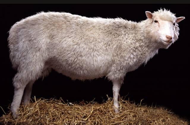 Již od roku 1996, kdy skotští vědci naklonovali ovečku Dolly je klonování organismů kontroverzním tématem. Sama Dolly příliš krásný život nevedla.  Trpěla bolestmi kloubů a zemřela ještě dříve, než se jí podařilo dosáhnout dospělosti.