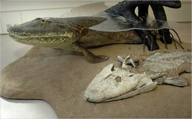 """Paleontologické nálezy """"přechodných článků"""" patří mezi naprosté rarity. Zdá se, že podivná """"ryba"""" nalezená v roce 2004 chladném kanadském Nunavutu, více než 1 100 km za polárním kruhem, v sobě spojuje znaky ryb a obojživelníků. Poskytuje tak cenné svědectví o přechodu obratlovců na souš. Ukazuje to nová studie fosílií zveřejněná nedávno v časopise Nature."""