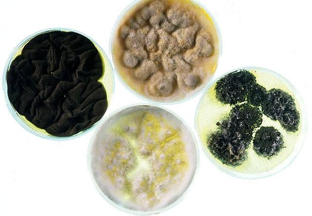Výzkum titěrných a zdánlivě nepodstatných organismů může často přinést významná překvapení. Přesvědčil se o tom i Dr. Gary Strobel z Montana State University. Při výzkumu patagonské houby středovky Gliocladium roseum zjistil, že dokáže přeměňovat jednoduché cukry i celulózu na oktan a heptan, jednoduché uhlovodíky, které jsou základními složkami ropy.