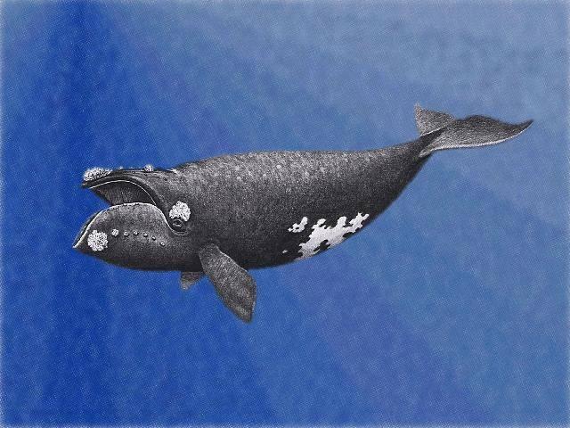 Na počtu málokterých živých tvorů se podepsal člověk tolik jako na velkých kytovcích. Nebýt přísné ochrany, byly by velryby dnes jen dávno zašlou vzpomínkou. Každá zpráva o tom, že se jejich populace vzpamatovávají, je proto důvodem k oslavě.
