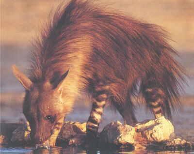Nálezy zkamenělého trusu, takzvané koprolity, nejsou pro paleontology nijak zvláštní raritou. Jejich rozboru se ale přesto věnují s obzvláštním zalíbením. Z trusu dávných zvířat lze totiž vyčíst informace, které by jim jinak zůstaly utajeny. Ve zbytcích trusu hyen však vědci nedávno objevili ještě více, než doufali.