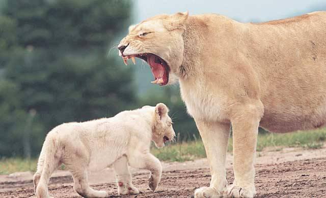 Bílí lvi patří k nejúžasnějším zvířatům, která kdy Země nosila. Domorodci je nazývají Mondoro a věří, že jsou to spirituální bytosti vyššího řádu, které se na Zemi zhmotňují, pouze je-li příroda v ohrožení. Díky lidem se dnes v poslední době objevují nejen ve své původní domovině, jihoafrické oblasti Timbavati, ale i na jiných místech Jižní Afriky.