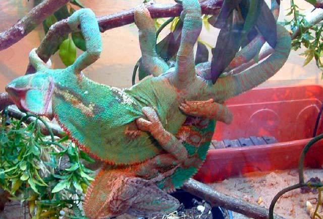 Chameleoni (Chamaeleoninae) patří tak trochu mezi záhadné živočichy, kteří vzbuzují neustálý zájem. Je to zejména kvůli jejich výrazné schopnosti měnit barvu v závislosti na prostředí nebo také na momentální náladě.