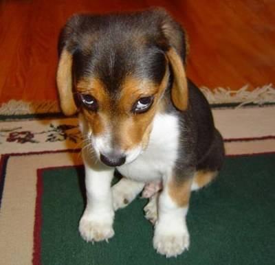 Vědce nedávno napadlo pokusit se zjistit, jestli provinilý výraz, který často vidíme u našich psů, skutečně odráží jejich pocit viny. Vypadá to ale, že řeč jejich těla nejspíš mluví o něčem jiném.