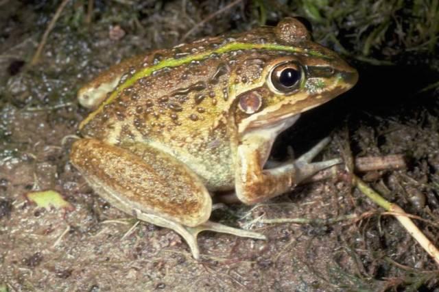 Výzkum organismů, které se na nějakou dobu obejdou bez potravy, je mezi vědci v poslední době čím dál větším hitem. Jejich metody hospodaření se zdroji by totiž mohly pomoci nalézt klíč například k problému lidské obezity. Pravou umělkyní v hladovění je australská žába hrabavka.