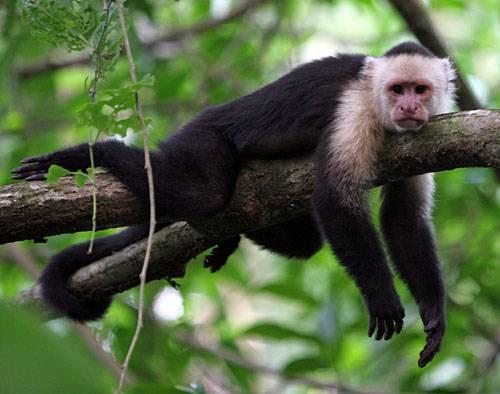 """Vědci nedávno zjistili, že """"opičení se"""" po jiných má kořeny hluboko v naší evoluční minulosti. U samotných opic je důležitější, než si dříve mysleli. Čím více se po někom """"opičí"""", tím více se snaží vetřít do jeho přízně."""