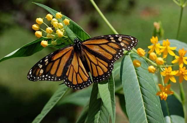 Američtí motýli danaové stěhovaví (Danaus plexippus) z příbuzenstva našich baboček patří k snad nejznámějším motýlům na světě. Svůj přídomek nezískali náhodou. Během svého stěhování po severoamerickém kontinentu dokážou uletět tisíce kilometrů. Jak to však tito motýli dělají, aby během svých dlouhých cest neztratili směr?