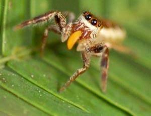 Když se řekne pavouk, většině lidí asi vytane na mysli představa nemilosrdného zabijáka, který je ve svých velikostních dimenzích zosobněním hrůzy. Američtí vědci však nedávno zjistili, že přinejmenším jeden druh pavouka je mírumilovným vegetariánem.