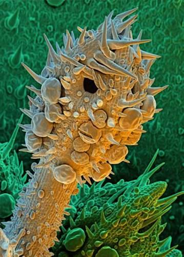 Příroda si dokáže občas pěkně zahrát a zdá se, že černý humor jí neschází. Květiny, které na první pohled vypadají krásně a nevinně, mohou být pěkně zlovolné. Jednou z nich je třeba vratič obecný. Náš snímek pořízený elektronovým mikroskopem ukazuje květenství vratiče zvětšené 193násobně.