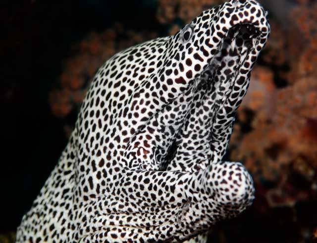 Muréna tygrovaná (Echidna tesselata) z čeledi murénovitých patří mezi skutečné krasavice mořských hlubin. Mezi potápěči panují na murény rozporuplné názory. Jedni je považují za vysoce nebezpečné, jiní tvrdí, že muréna sama o sobě člověka nenapadne, pokud ji neohrožuje. Přesto je doložených případů napadení potápěče murénou celá řada.