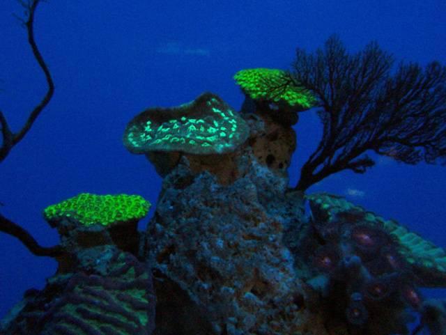 Mezi nejzajímavější obyvatele podmořských zahrad patří bezesporu korály. Je známo, že některé korály umějí v tropických mořích vytvářet korálové útesy. Vylučují totiž uhličitan vápenatý pro tvorbu svých tvrdých vnějších schránek a během milionů let se tyto schránky navrství a někdy vytvoří i ostrov. Mezi jejich méně známé vlastnosti patří to, že dokážou fluoreskovat.