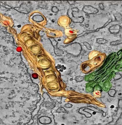 Pro svou replikaci v buňkách hostitelského organismu potřebují viry, způsobující tropickou horečku dengue, prostředí membrán endoplazmatického retikula (ER), systému drobounkých cisteren a kanálků, které přímo navazují na membránu obalující buněčné jádro.