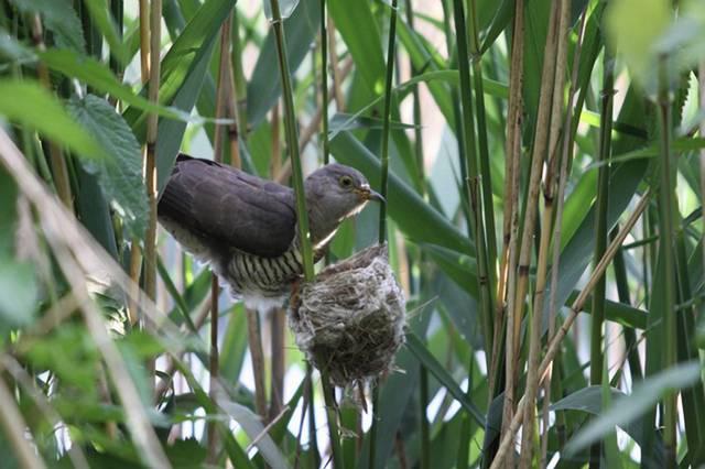 Příroda občas prokazuje, že má docela smysl pro černý humor. Vyprávět by o tom mohli kukačka obecná a rákosník obecný. Tyto ptáky totiž spojuje zvláštní věc – rákosník často, byť proti své vůli, vychovává kukaččí mláďata.