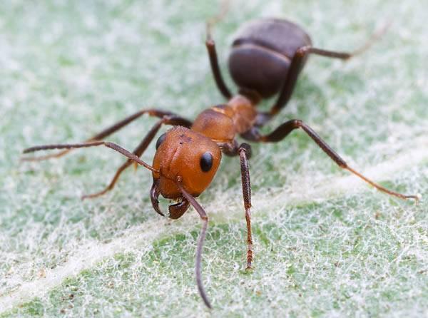 Kolonie mravenců, včel či termitů připomínají nejen laikům, ale i odborníkům jeden živoucí superorganismus, v němž se členové kolonie chovají podobně jako jednotlivé buňky živého těla. Týmu amerických vědců se nedávno tuto intuici podařilo podpořit matematickým modelem.