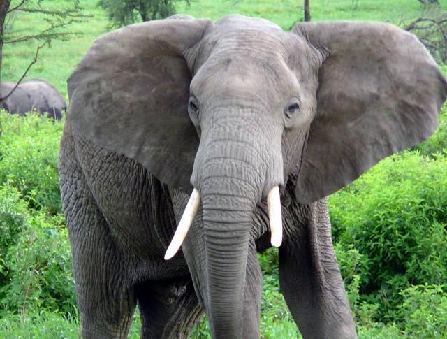 V Indii, v řadě dalších asijských zemí a v Africe přijdou každý rok o život stovky lidí vinou běsnících slonů. I když je dobře vycvičený slon většinou mírumilovné zvíře, nezřídka jej popadne nevysvětlitelný amok a několik tun vážící monstrum začne ničit vše kolem sebe. Indický vědec Zachariah Matthew se nechal inspirovat filmem Hvězdné války a vymyslel unikátní automatická pouta.