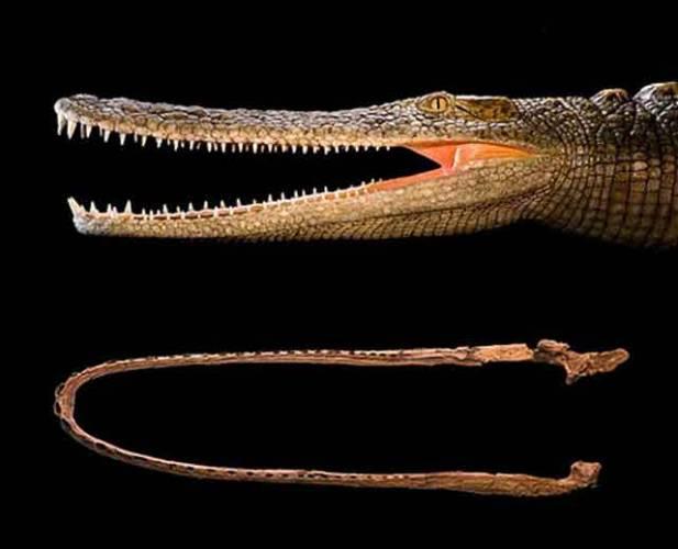 Když se řekne Sahara, každému ihned naskočí obrázek písečných dun či rozpáleného štěrku. Během druhohor, kdy byla Sahara i s celou Afrikou součástí prakontinentu Gondwana, se však místa dnešní pouště hemžila nebezpečnými dravci, předky dnešních krokodýlů. Američtí paleontologové tu nedávno objevili několik nových druhů.