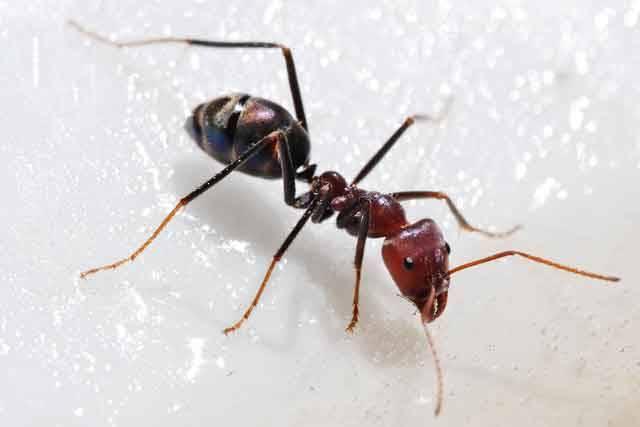 """Svět společenského hmyzu, mezi který počítáme například termity, včely či mravence, si je s tím lidským někdy až překvapivě podobný. Řada druhů mravenců došla dokonce tak daleko, že si podobně jako lidé pěstují """"domácí"""" zvířata i rostliny. Nedávno publikované studie ukázaly, že k jejich """"hnojení"""" se spojili s bakteriemi. !"""