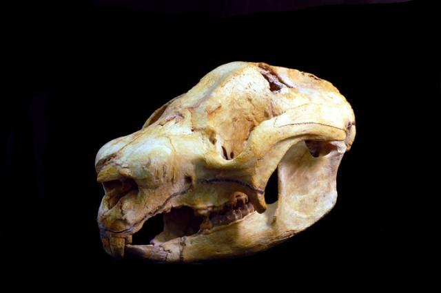 Z objevu zachované kostry dávného tvora mají paleontologové vždy radost. Když ale na jednom místě objeví koster větší množství, je to již důvod k pořádné oslavě. V australském Queenslandu se vědcům podařilo najít jeskyni, v níž skončil život celých 26 exemplářů dnes již vyhynulého druhu vačnatce příbuzného dnešním vombatům.