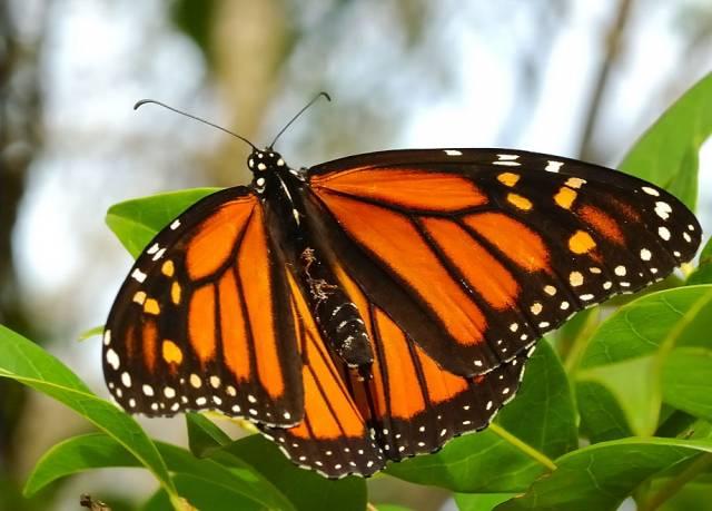 O tom, že lidé nejsou zdaleka jedinými živočichy, kteří dokáží využívat léčivou moc bylin, vědí vědci již dlouhou dobu. Že se ale takové schopnosti objeví u hmyzu, který není znám zrovna valnou inteligencí, čekal skutečně málokdo.