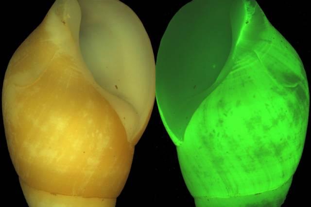 """Mezi mořskými organismy, schopných bioluminiscence neboli světélkování, hrají prim především obyvatelé tmavých hlubin. Američtí badatelé však nedávno prozkoumali i jedinečné světélkovací schopnosti drobných """"šnečků"""", kteří žijí na skalách v mořském příboji. Jejich výzkumy by mohly najít uplatnění i při vývoji nových materiálů."""
