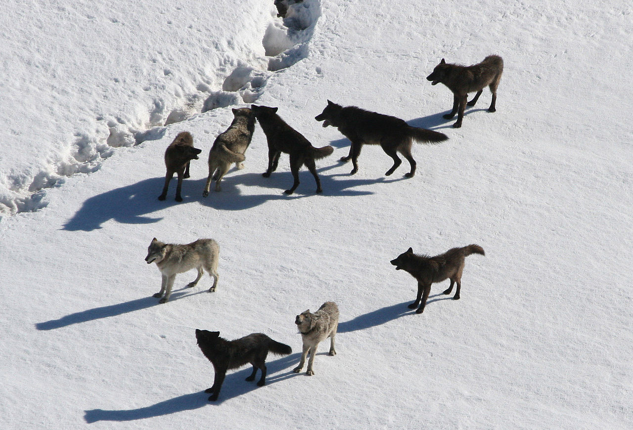 1280px-Yellowstone_Wolves
