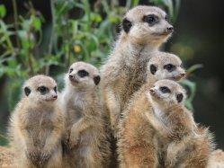 Roztomilé surikaty se vzájemně vraždí