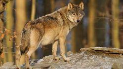 Kříženci vlka a labradora ohrožují genofond německých vlků.