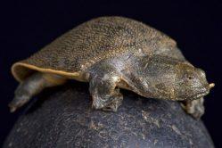 U řeky Mekong bylo nalezeno hnízdo vzácné kožnatky