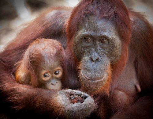 Orangutani objevili lék na bolavé končetiny