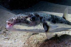 Jedovatá ryba se šíří Středozemím