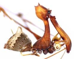 Agresivní pavouk velikosti zrnka rýže