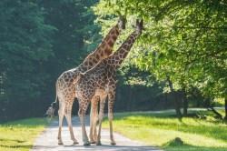Žirafy se vrací na safari!