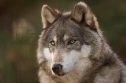 Vlci obsazují další české oblasti