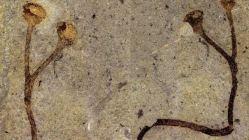V depozitáři našli Češi nejstarší rostlinu světa