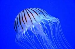 Důsledek znečišťování planety: Medúzy narušují chod elektráren
