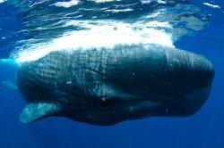 Mořští biologové znají příčinu velrybích sebevražd