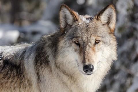 Vlci se postupně vracejí do volné přírody. Jen v našich luzích a hájích by  jich mělo být podle odhadů dvacet až třicet. A co teprve u ... bd169c5155