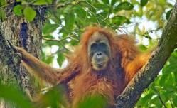 Projekt na stavbu vodní elektrárny ohrožuje orangutany v Indonésii