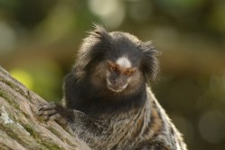 Kočkodani se vzájemně varují před drony. Používají výraz podobný výrazu pro orla