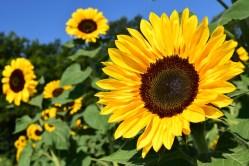 Pacienti sroztroušenou sklerózou vysázejí slunečnice jako symbol naděje