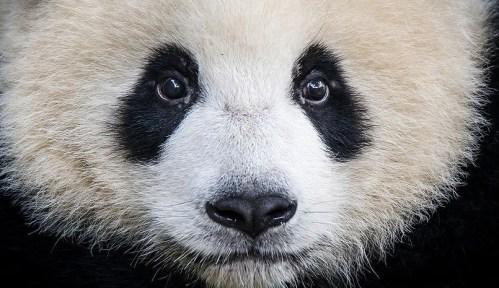 Tam, kde pandy dávají dobrou noc