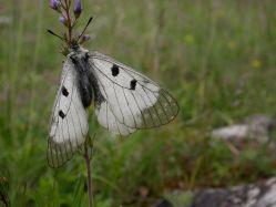 Lesy ČR likvidují motýly, upozorňují vědci