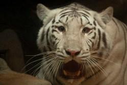 Zoo Liberec poskytla dočasné útočiště dvěma zabaveným bílým tygrům